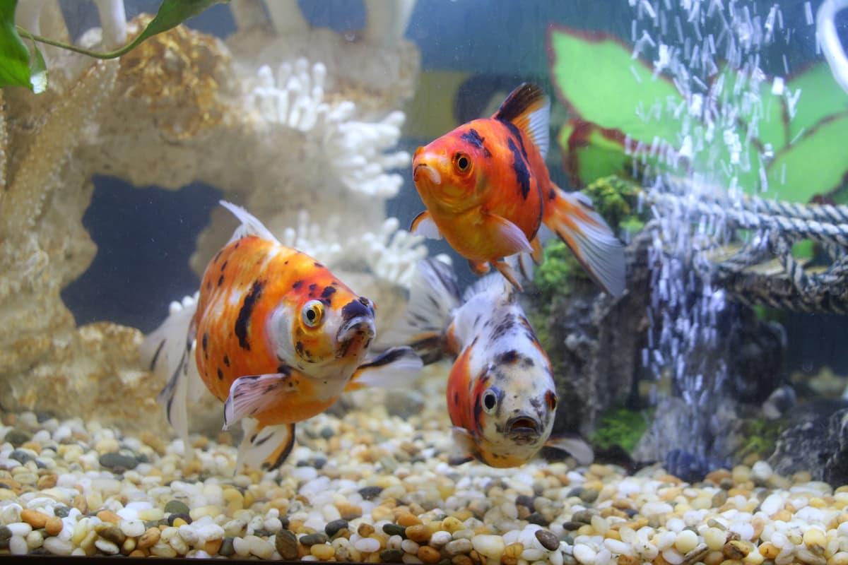 Advice Welfare Debunking Goldfish Myths Spca New Zealand