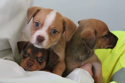 Foster parent - Puppies